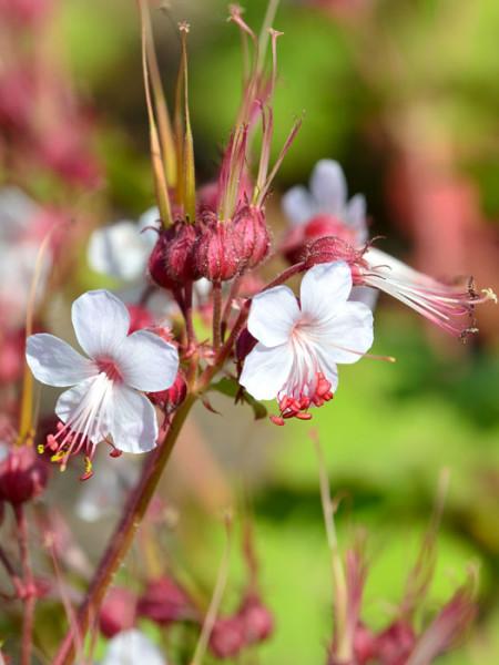 Blütenstand des Balkanstorchschnabels 'Spessart'