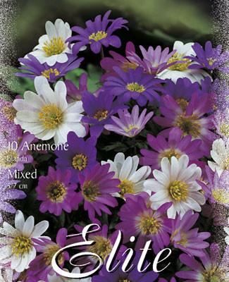 Anemone Blanda-Prachtmischung (Art.Nr. 596400)