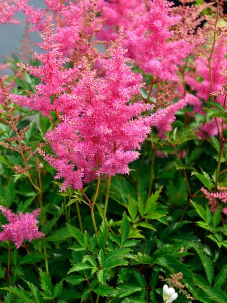 Blüte der Prachtspiere 'Anita Pfeiffer'