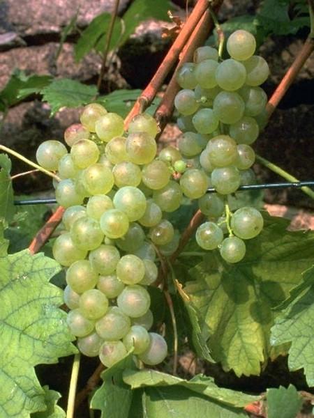 Tafel- und Weintraube Weißer Gutedel