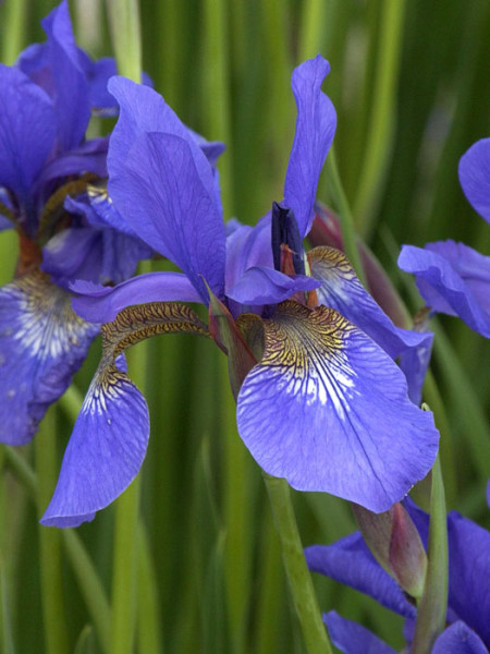 Iris sibirica 'Caesar's Brother', Wiesen-Iris, Wiesen-Schwertlilie