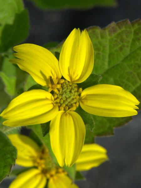 Blatt und Blüte des Goldkörbchens