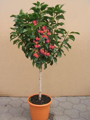 Sauerkirsche Griotella mit roten Früchten