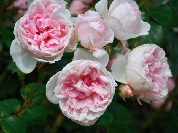 Blüten der Rose Cinderella