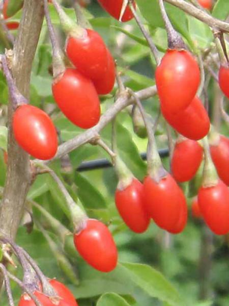 Goji-Beere 'Natascha' (Lycium barbarum Natascha)