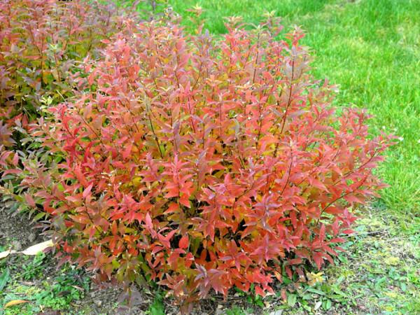 Maiblumenstrauch Herbstfärbung
