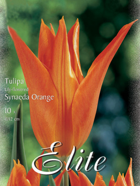 Lilienblütige Tulpe 'Synaeda Orange' (Art.Nr. 595458)