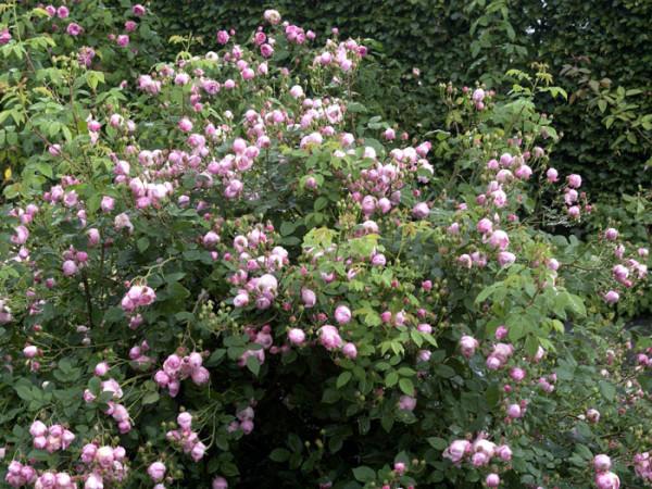 Strauch der Rose Raubritter