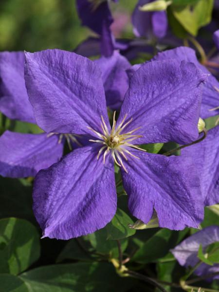 Die violette Blüte der Clematis Jackmanii