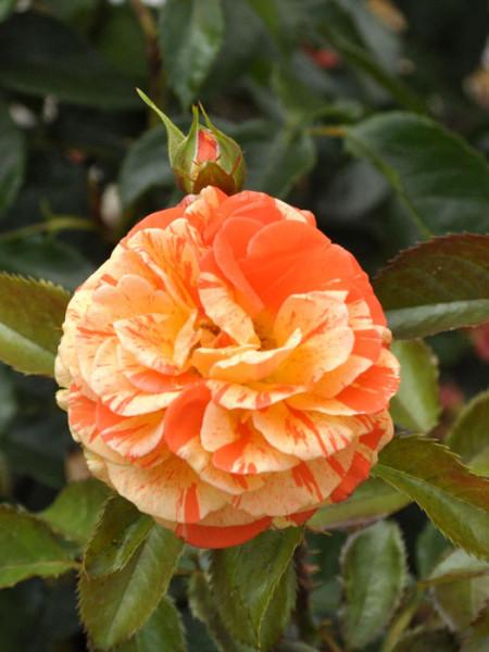 Blüte der Rose Papagena