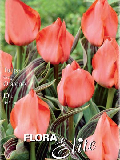 Greigii-Tulpe 'Oratorio' (Art.Nr. 595763)
