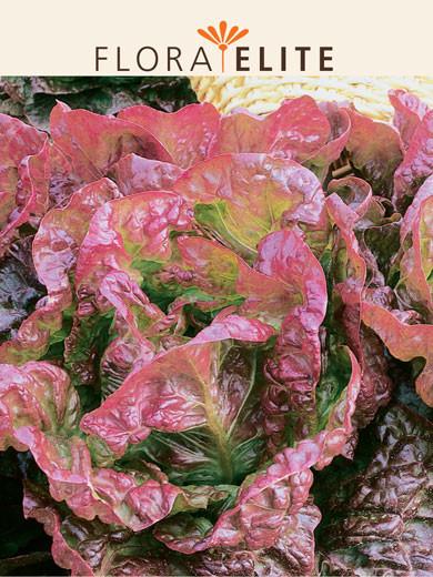 Kopfsalat 'Merveille des quatre Saisons' (Art.Nr. 21466)