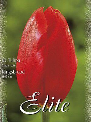 Einfache späte Tulpe 'Kingsblood' (Art.Nr. 595348)