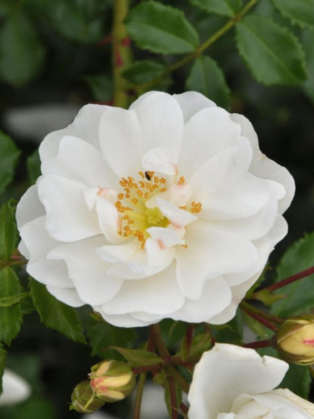 Blühende Rose Diamant