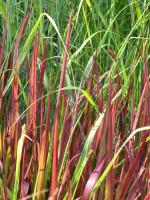 Imperata cylindrica 'Red Baron', Japanisches Blutgras