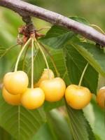 Süßkirsche Dönissens Gelbe