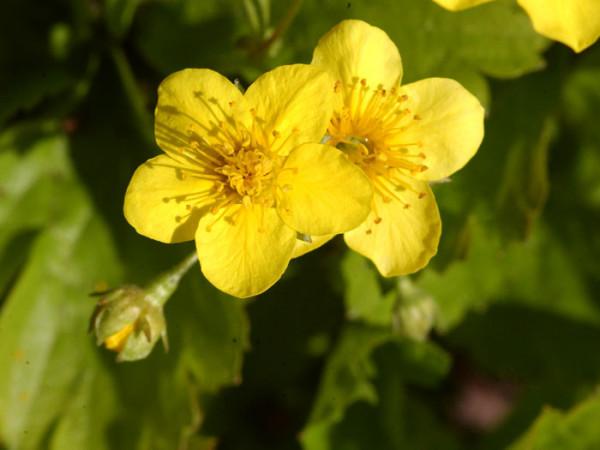 Golderdbeere Blüte