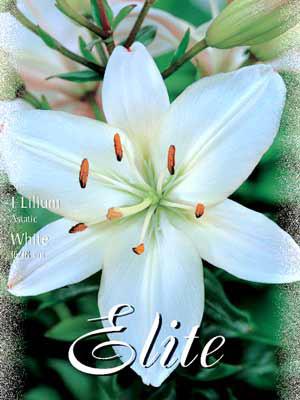 Asiatische Lilien-Hybride 'White', Lilium (Art.Nr. 521684)
