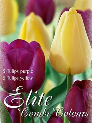 Edle Farbkombination mit Triumph-Tulpen in den Farben Purpur und Gelb (Art.Nr. 598008)