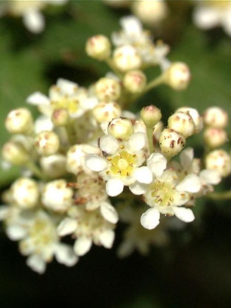 Niedere Kranzspiere Blütenstand