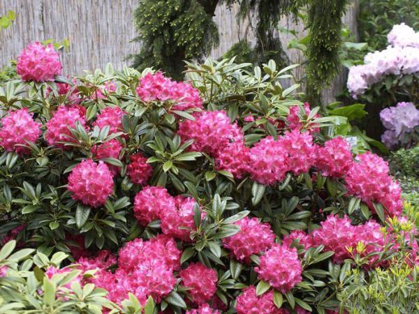 Rhododendron 'Berliner Liebe'