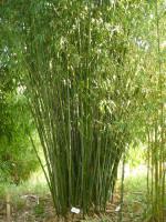 Phyllostachys rubromarginata, Knospen-Bambus
