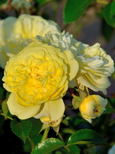 Blüten der Rose Solero