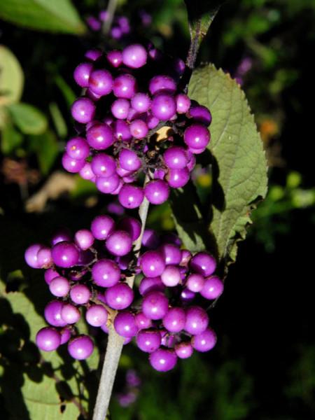 Beeren der Schönfrucht