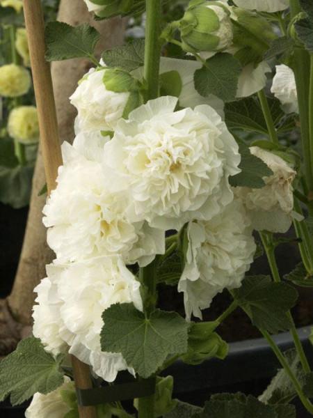 Alcea rosea 'Pleniflora' weiß (M), Stockrose, gefüllte Stockmalve
