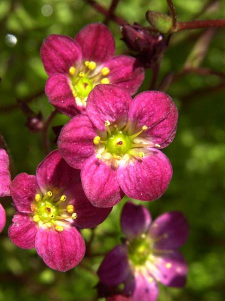 Saxifraga x arendsii 'Blütenteppich', Moos-Steinbrech