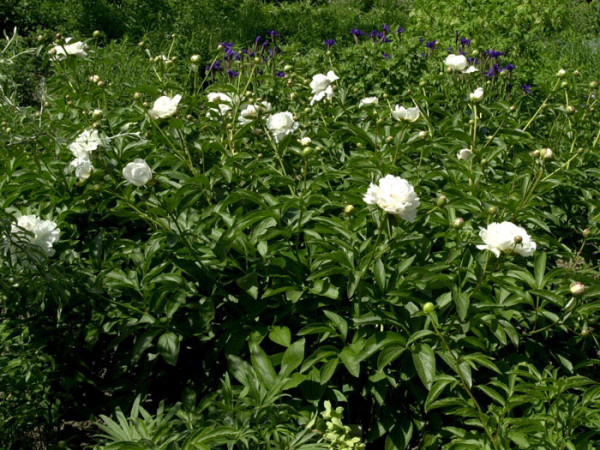 Paeonia lactiflora 'Festiva Maxima', Edel-Pfingstrose