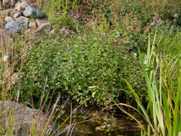 Mentha aquatica, Wasserminze, Bachminze