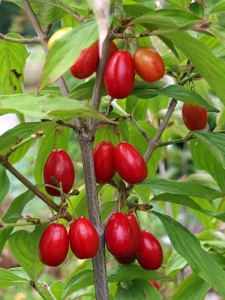 Frucht und Blatt der essbaren Kornelkirsche