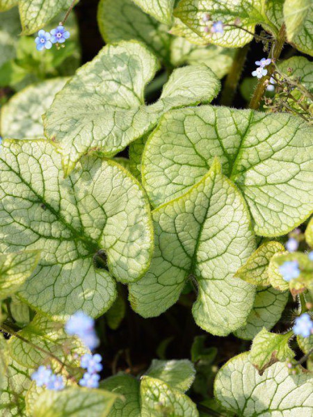 Brunnera macrophylla 'Looking Glass', silberlaubiges Kaukasus-Vergissmeinnicht