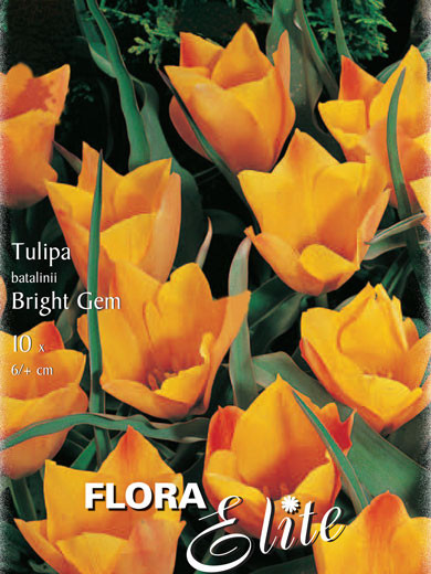 Botanische Tulpe 'Bright Gem' (Art.Nr. 595652)