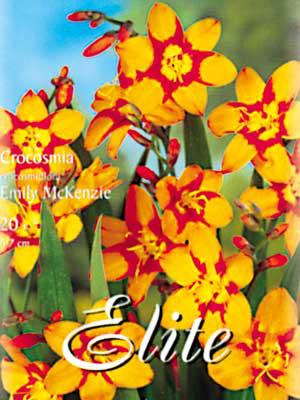 Montbretie 'Emily McKenzy', Crocosmia crocosmiiflora (Art.Nr. 521064)