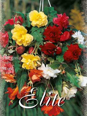 Hänge- oder Ampelbegonien, Mischung, Begonia pendula (Art.Nr. 520886)