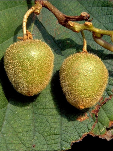 Selbstfruchtbare Kiwi 'Jenny'