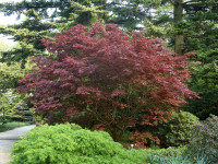 Acer palmatum 'Bloodgood', Dunkelroter Fächerahorn