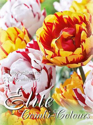 Edle Farbkombination mit späten, gefüllten Tulpen in den Farben Gelb und Weiß mit interessanter Flamme (Art.Nr. 598012)
