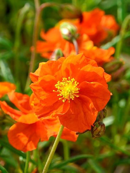 Orange Einzelblüte des Garten-Sonnenröschens