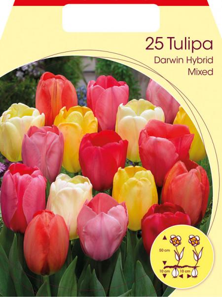Darwin-Hybrid-Tulpen-Prachtmischung (Großpackung) (Art.Nr. 597610)