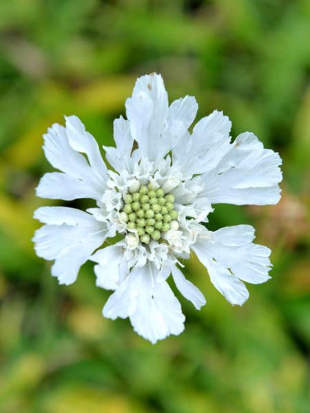 Scabiosa caucasica 'Perfecta Alba', Weiße Scabiose, Weiße Witwenblume