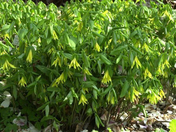 Uvularia grandiflora, Hänge-Goldglocke