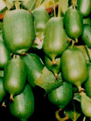 Selbstfruchtbare Kiwi 'Issai', Minikiwi oder Bayernkiwi