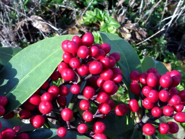 Frucht-Skimmie Beeren