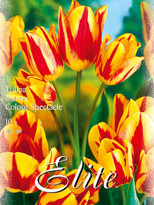 Einfache späte Tulpe 'Colour Spectacle' (Art.Nr. 595342)