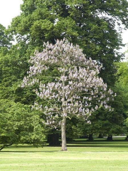 Paulownia tomentosa, Blauglockenbaum
