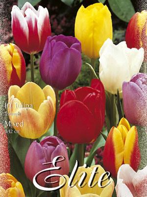 Triumph-Tulpen-Prachtmischung (Art.Nr. 595270)