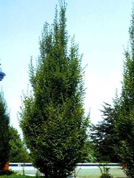 Carpinus betulus 'Fastigiata', Säulenhainbuche